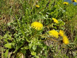 Löwenzahn-Blüten
