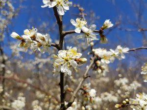 Blüten der Schlehe