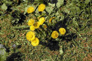 Huflattich-Blüten
