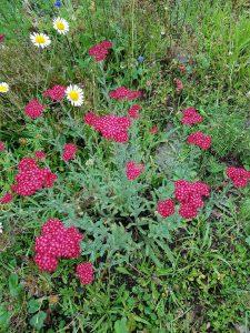 Zierform mit roten Blüten