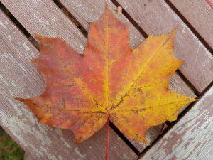 Spitzahorn-Blatt im Herbst