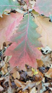 Roteichen-Blatt im Herbst