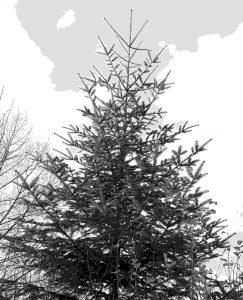 Als Weihnachtsbaum eigentlich zu schade