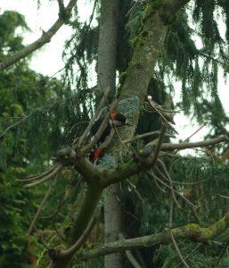 Buntspecht im Baum