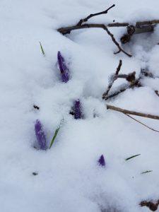 Knospen der Elfenkrokusse im Schnee