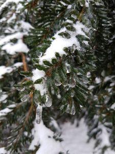 Nadeln der Eibe, mit Eis überzogen